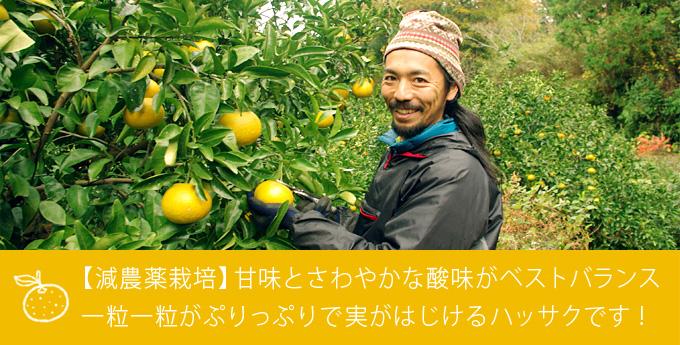 【減農薬栽培】一粒一粒がぷりっぷりで実がはじけるハッサクです!