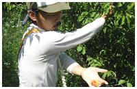 減農薬 紀州南高梅 完熟梅